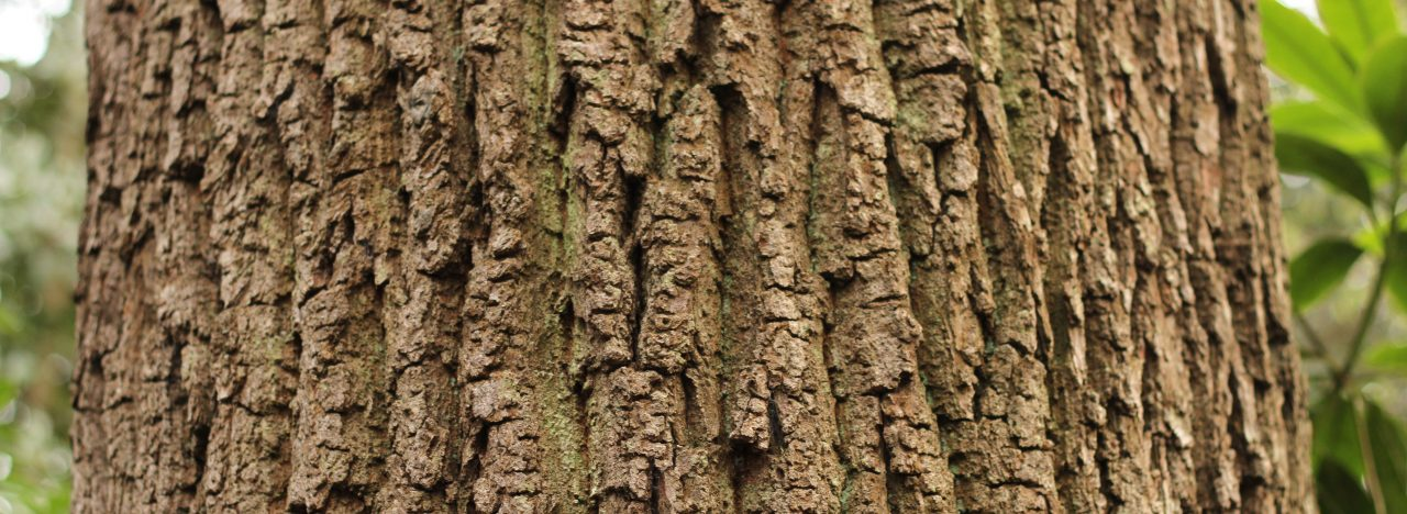 A photograph of a tree bark taken up close, filling most of the screen. The bark is healthy and a scratchy uneven surface, from a cedar