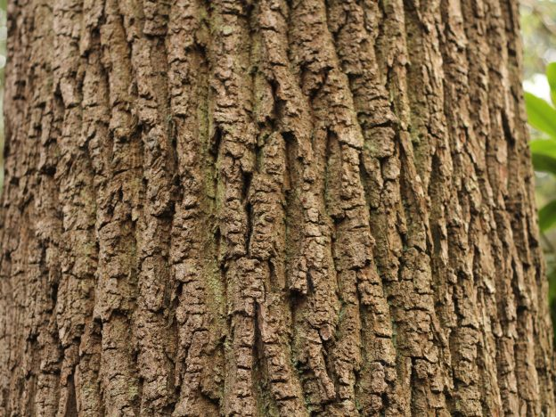 A cedar tree bark shot from close range, showing the gnarled structure