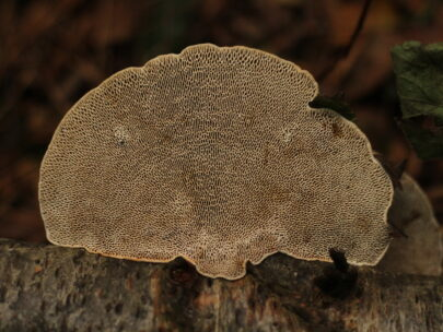 A photograph of a bracket fungus with a maze-like structure on its underside, attached to a decaying piece of wood
